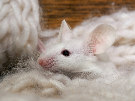 irresistible: The mouse sits in the closet. Rodent lived in the house