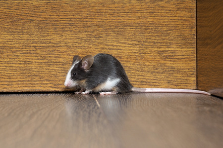 furry tail: Gray-white furry mouse on the floor in the room. The long pink tail Stock Photo