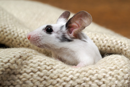 irresistible: The mouse sits in the closet on things. Rodent lived in the house Stock Photo