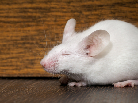 White mouse sits on the floor. Portrait of a rodent Stock Photo