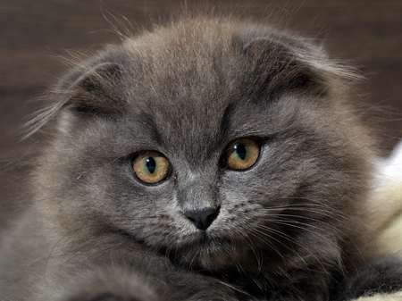 lop eared: Portrait of a cute kitten. Grey, furry, lop-eared cat with huge eyes Stock Photo