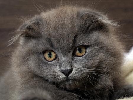 highlander: Retrato de un lindo gatito. Gris, gato peludo, orejas caídas con los ojos enormes