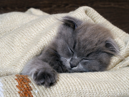 lop eared: Cute kitten sleeping under a blanket. Grey, lop-eared cat. Fluffy cat on the background of wooden wall.