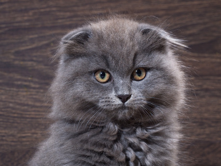 lop eared: Portrait of a cute kitten. Grey, lop-eared cat with huge yellow eyes. Fluffy cat on the background of wooden wall.