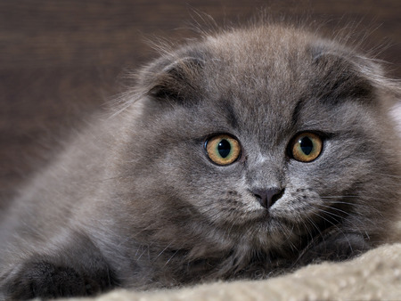 Muzzle magnificent cat. Kitten scared huge yellow eyes Stock Photo