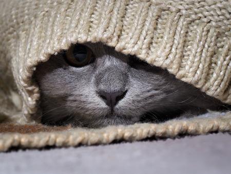 고양이는 따뜻한 스웨터에 숨었다. 스톡 콘텐츠 - 63589185