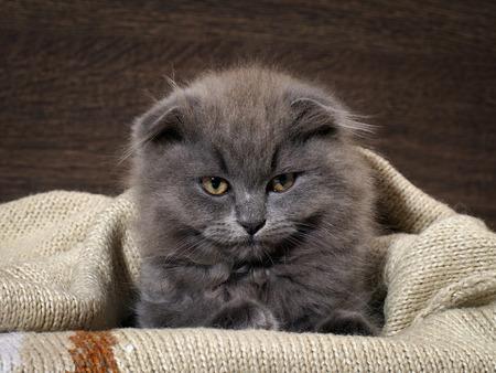 up do: Sleepy, annoyed, awake cat gets out of the plaid. Cat woke up, do not give sleep