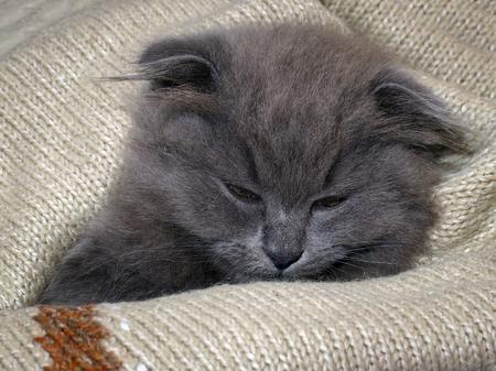 Sleepy kitten sleeps in a blanket. Grey Cat, Fluffy, Fold Stock Photo
