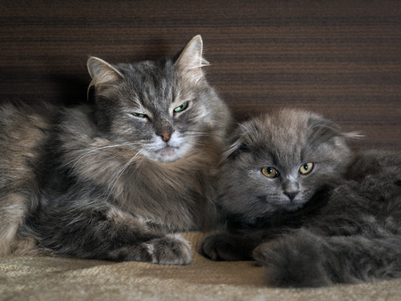 similar: Cat and kitten are sleeping together. gray cats, fluffy. Very similar, but different breeds Stock Photo