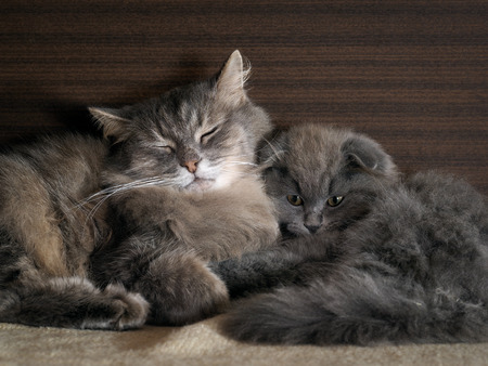 The cat and the cat pressed against each other. gray cats, furry
