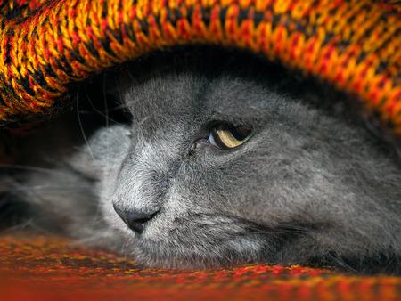 니트 격자 무늬 안에 숨어있는 귀여운 회색 고양이 스톡 콘텐츠