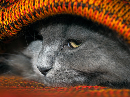 Cute gray cat hiding inside knitted plaid