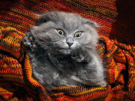 Big gray cat woke up in horror. Nightmares, fear 版權商用圖片
