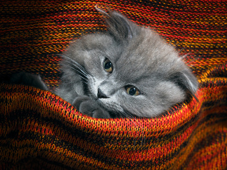 red plaid: Cute gray fluffy kitten in a red plaid knitted bright Stock Photo