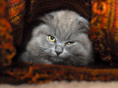 gray cat: Cat hides under a knitted blanket. Cat gray, fluffy