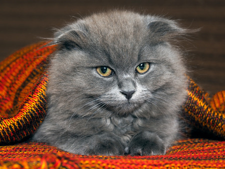 gray cat: Sleepy, dissatisfied gray, fluffy cat