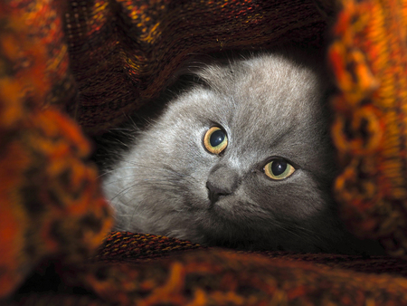hides: Cat hides under a knitted blanket. Cat gray, fluffy