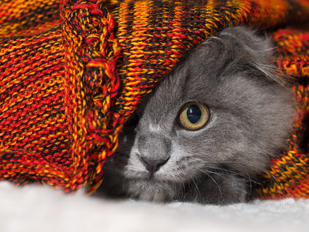 round eyes: Cat with huge round eyes funny looks from the bright blankets Stock Photo