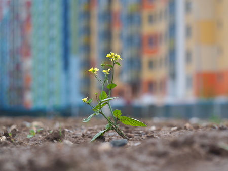 wasteland: Small, weak flower among wasteland and dirt on the background of the beautiful buildings of the city. The concept of urban ecology, environment