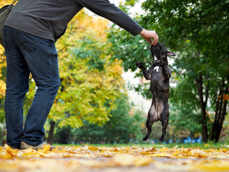 The owner of the dog to train. Bulldog funny jumped for a treat Stock Photo