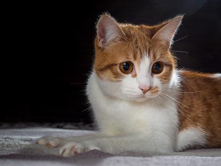 ginger cat: Ginger cat