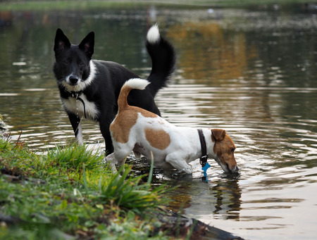 thirst: Two dogs drink water from a pond in the park