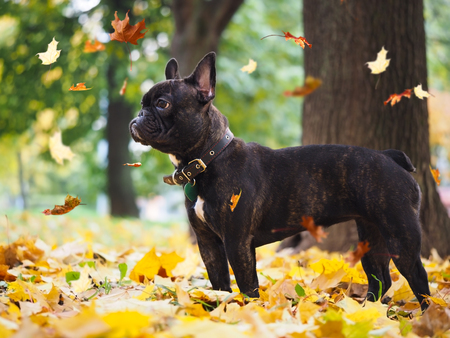 Black dog in a park amongst autumn leaves. leaf fall 스톡 콘텐츠