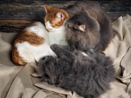 grey rug: Two cats and a dog sleeping together, hugging each other