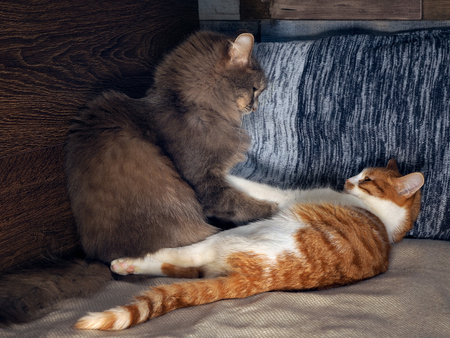 he is different: Funny cat fighting playing on the bed Stock Photo