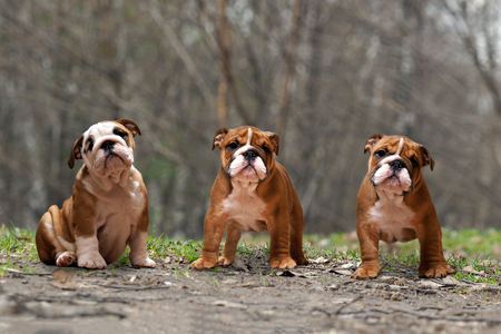 Dogs English bulldog puppies in the woods
