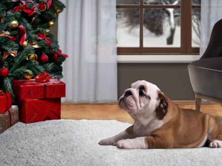 Chien couché sur le sol dans une maison près d'un arbre de Noël avec des cadeaux Banque d'images - 65751018