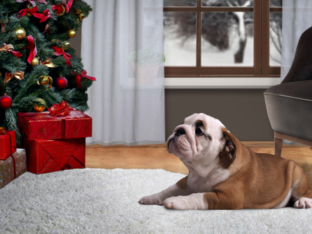 Dog lying on the floor in a house near a Christmas tree with gifts Standard-Bild