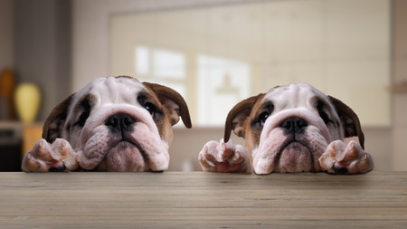Two dogs, English bulldog puppies at the table in the kitchen
