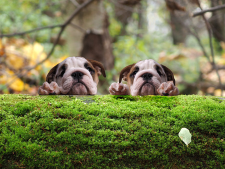 Two dogs, English bulldog puppies in the woods