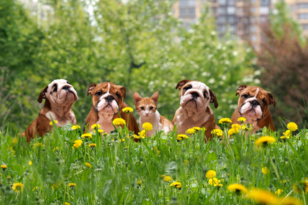 Cute dogs and cats in the tall grass among the dandelions. English Bulldog Puppies in a city park Standard-Bild