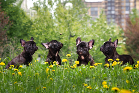 Cute black dog tall grass and yellow flowers french bulldog stock cute black dog tall grass and yellow flowers french bulldog puppies in a city park mightylinksfo