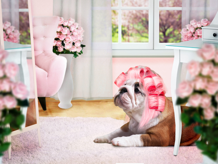 perming: Glamour Dog in pink curlers in the ladies room