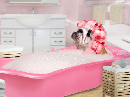 Funny Dog in pink curlers sitting in the bath with foam Stock Photo - 65750797