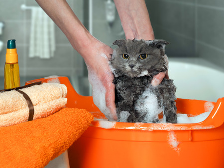 The process of washing the cat in the bathroom in the pelvis. Wet, scared and unhappy cat, a human hand, a lot of suds 스톡 콘텐츠