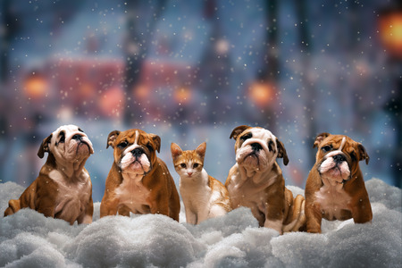 Four red dog, a breed of English bulldog and red cat sitting on the snow under the falling snow 스톡 콘텐츠