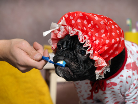 Funny dog brush their teeth with a toothbrush. Dog in a shower cap and gown. Man's hand. The concept of dental care, cleanliness, hygiene pets 스톡 콘텐츠