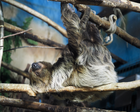 sleeping sloth hanging on a tree branch at the zoo