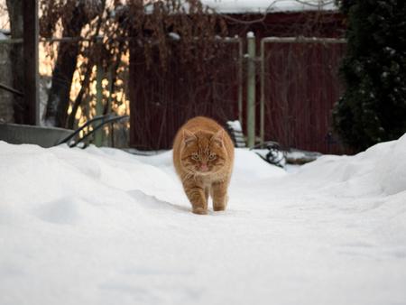 snowdrifts: Auburn rustic cat walking on the snow among the snowdrifts