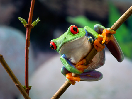 The red-eyed tree frog. Frog with red eyes, wood. Beautiful green and blue colors. Exotic animal of rain forest. agalychnis 스톡 콘텐츠