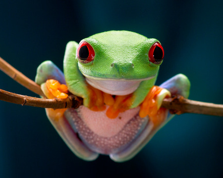 agalychnis: The red-eyed tree frog. Frog with red eyes, wood. Beautiful green and blue colors. Exotic animal of rain forest. agalychnis Stock Photo