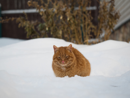 Red cat sitting among the snow drifts Stock Photo