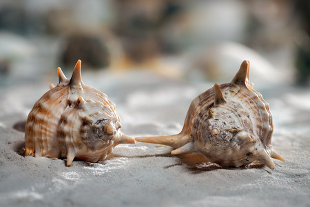 Two beautiful shells on the sand unusual shapes. Sink like a strange living creatures