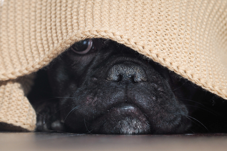The dog's nose peeping from under the blanket
