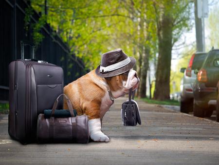 Beau gros chien avec une valise. Le bouledogue tenait le sac entre ses dents. Chapeau drôle sur le chien. L'animal attend dehors Banque d'images - 69978166