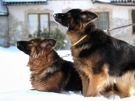 large dog: Large guard dog in the background of the cottage. Winter, snow Stock Photo